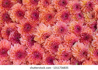 Pink chrysanthemums flowers  background in spring or mothers day