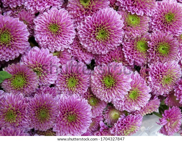 Pink chrysanthemums with green center petals in full frame background