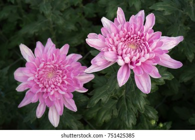 Pink Chrysanthemums with a green leafs background. They are also called mums or chrysanths and are flowering plants of the genus Chrysanthemum in the family Asteraceae.
