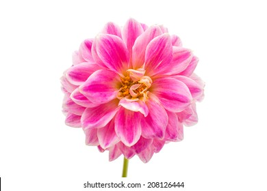 pink chrysanthemums on a white background