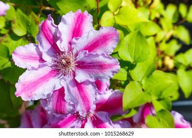 Pink Clematis flower in the garden. Beautiful flowering Clematis varieties Tudor