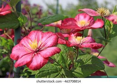 Pink clematis flowers in a garden in summer