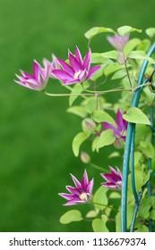 pink clematis in the garden