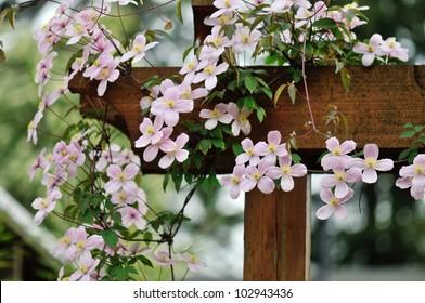 Climbing clematis images stock photos vectors shutterstock pink clematis montana rubens climbing on garden gate mightylinksfo