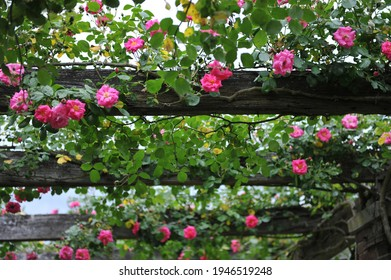 Pink climbing Noisette rose (Rosa) Chaplin's Pink Climber blooms on a wooden pergola in a garden in May