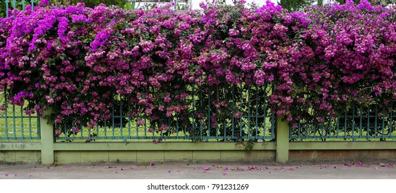 Pink climbing on a fence