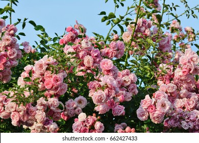 Pink climbing rose bush flowers on arching branches