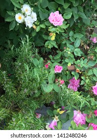 Pink climbing rose with white rambling rose and rosemary herb in garden