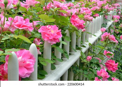 Pink climbing roses on picket fence