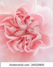 Pink clove macro