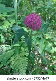 Pink clover flower among green grass in summer forest