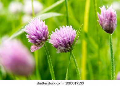 Pink Clover flower in summer garden. nature, macro.