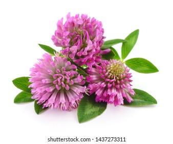 Pink clover flowers on a white background.