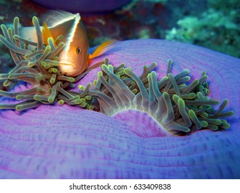 Pink Clown-fish or Anemone-fish lives in a symbiotic relationship with Magnificent Sea Anemones North Andaman, Thailand.