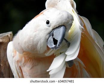 Pink Cockatoo, (Cacatua moluccensis)