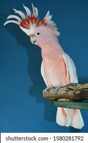 Pink Cockatoo native to Australia