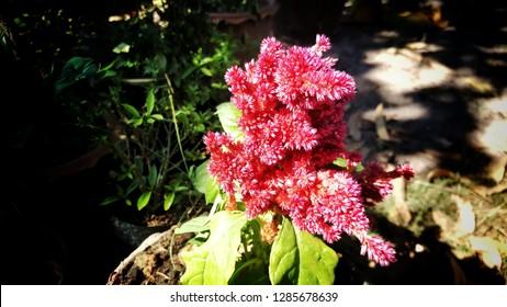 Pink cockscomb flowers