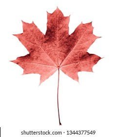 Pink or colar maple leaf isolated white background. Beautiful autumn maple leaf isolated on white. Fall leaf