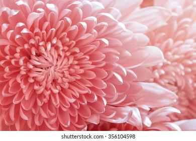 Pink color daisy macro background