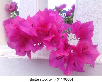 Pink Color Flower Name Bougainvillea Paper Stock Photo Edit Now