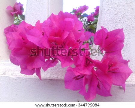 Pink color flower name bougainvillea paper stock photo edit now pink color flower name is bougainvillea paper flower or china rose flower mightylinksfo