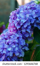 Pink color hortensia Hydrangea macrophylla with large leaved outdoors. Close up, France