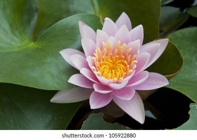 pink color lotus flower