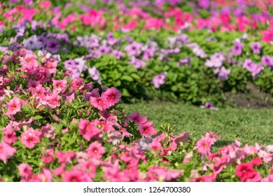Pink color of Petunias flower in the garden.