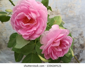 pink color rose twin flower