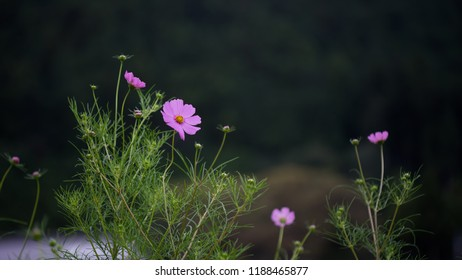 Pink colored cosmos with dark background provides nice contrast. - Shutterstock ID 1188465877