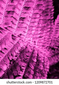 Pink colored Fern. Natural textures and patterns of the most ancient fern plants on the planet Earth. Age - 415 million years. Background and visual material for modern natural design. Macro photo