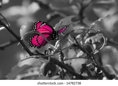 Pink colorized butterfly on Black & White background.
