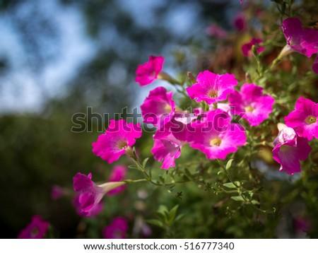 Pink Colour Flowers Taman Seri Empangan Stock Photo Edit Now