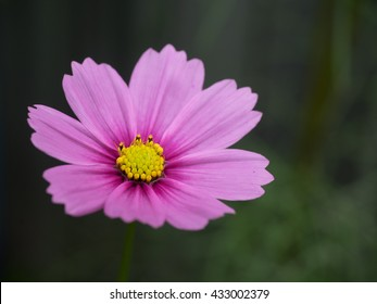 pink Common cosmos,