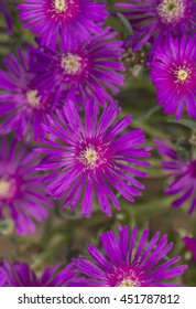 Pink, Common ice plant, (Mesembryanthemum crystallinum) flowers, close up