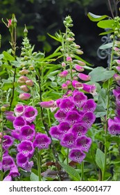 Pink common purple foxglove also called fairy fingers or Folksglove 'Camelot Rose' (Digitalis purpurea)