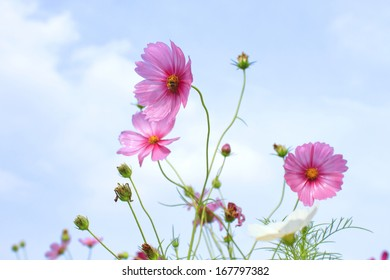 Pink  Comos flower on a background of blue sky