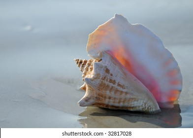 Pink Conch Shell Washed Up on a Florida Beach at Sunrise