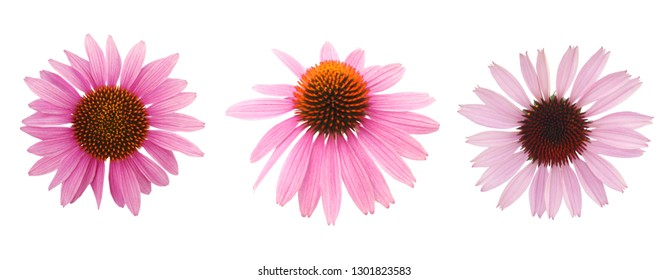 Pink coneflower, echinacea head, isolated on white background, clipping path included
