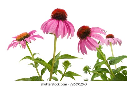 Pink coneflowers (echinacea) isolated on white background