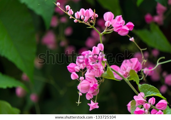 pink Confederate vine flower in the