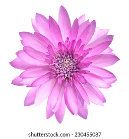 Pink Conflower Flower in Full Bloom Isolated on White
