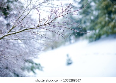 A pink coral bark branch in winter with dark green redwood trees in the blurred distance.  There is snow on the pink branches.