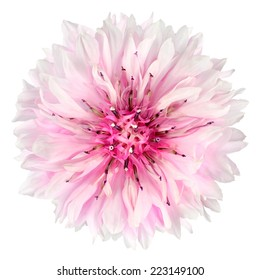 Pink Cornflower Flower Isolated on White Background. Centaurea cyanus flowerhead wildflower on plain background