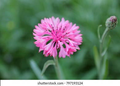 Pink Cornflower Herb or bachelor button flower olso known as hurtsickle. Summer wildflower cornflower in rays of sun. Cornflower bud in blurred green field background. Colorful cornflower as wallpaper