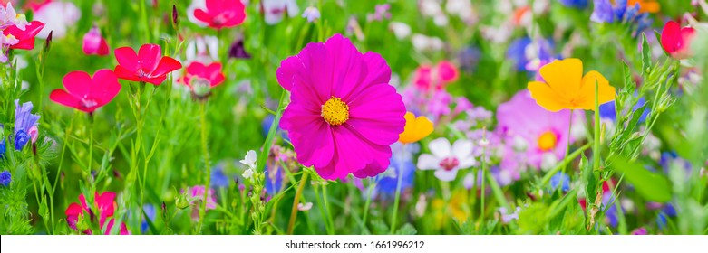 Pink Cosmos flower (Cosmos Bipinnatus). Multicolor flowers in meadow in summer. Wild colorful vivid flower field, banner background.
