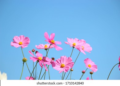 Pink cosmos flower blooming cosmos flower field with blue sky, beautiful vivid natural summer garden outdoor park image. - Shutterstock ID 1710142840