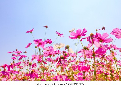 Pink cosmos flower blooming in the field.