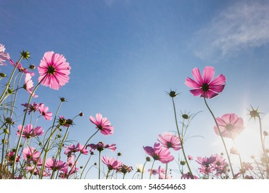 pink cosmos flower blooming in the field and blue sky