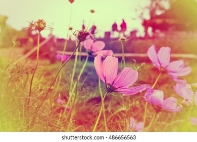 Pink Cosmos flower with blurred background.